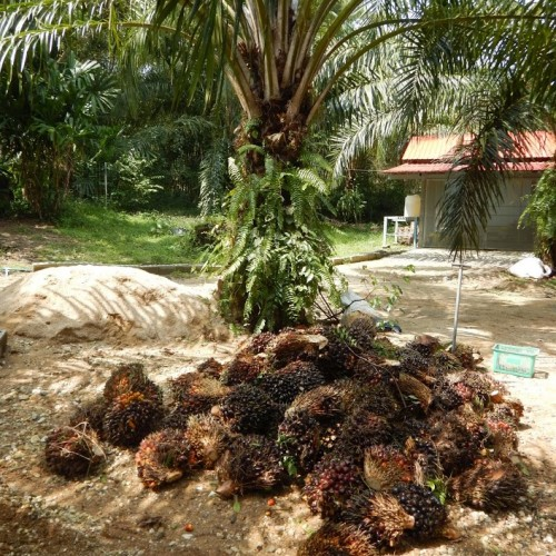 Palm oil fruit freshly harvested